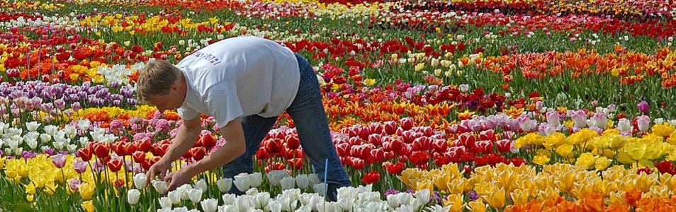 Tulpen iBeacons